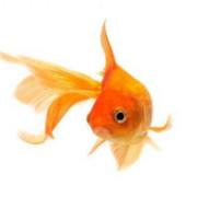 pesciolino rosso 1